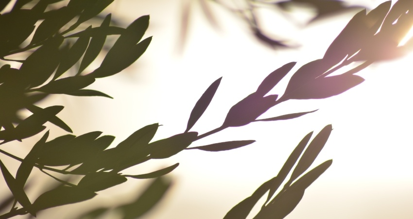 9 DIVINE FACTS ABOUT THE OLIVE TREE