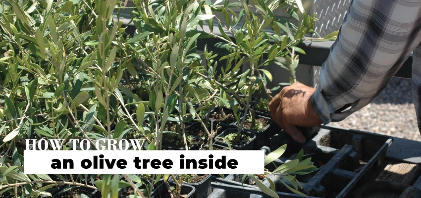How to grow an olive tree inside