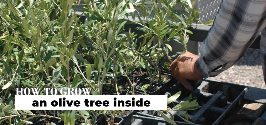 How To Grow An Olive Tree Inside